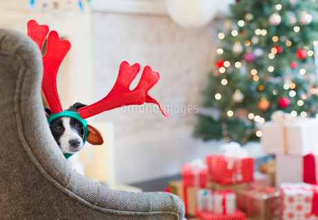 Portrait dog wearing reindeer antlers near Christmas treeの写真素材 [FYI02171366]