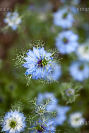 Close up of blue nigella flowerの写真素材 [FYI02171825]