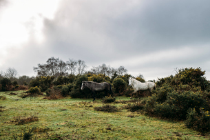 Wild horses walking through bushes into field, New Forest, United Kingdomの写真素材 [FYI02172016]