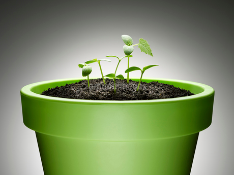 Green sprouts growing from flowerpot against gray backgroundの写真素材 [FYI02174285]
