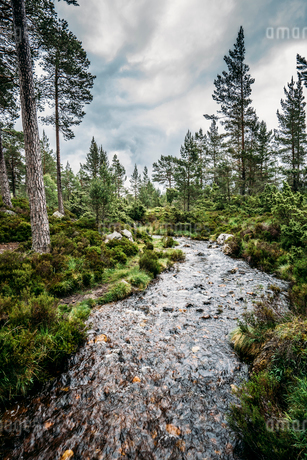 Tranquil autumn stream among trees in remote woods, Loch an Eilein, Scotlandの写真素材 [FYI02175421]