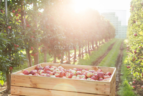 Red apples in bin in sunny orchardの写真素材 [FYI02176078]