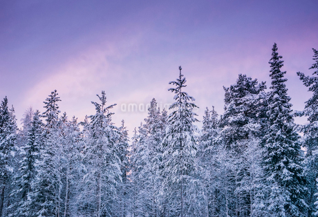 Tall, snow covered forest trees against purple winter sky, Lapland, Finlandの写真素材 [FYI02176325]