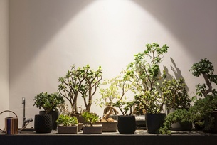 Tropical plants and bonsai trees under illumination of lightの写真素材 [FYI02176520]