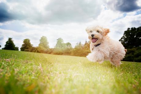 Happy dog running in park grassの写真素材 [FYI02177159]