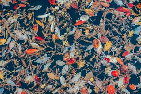 Full frame pattern of autumn leavesの写真素材 [FYI02177981]