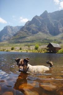 Portrait dog swimming in sunny summer lakeの写真素材 [FYI02184531]