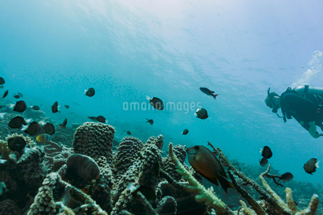 Man scuba diving underwater among tropical fish, Vava'u, Tonga, Pacific Oceanの写真素材 [FYI02188078]