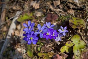 Sweden, Blue wildflowersの写真素材 [FYI02189278]