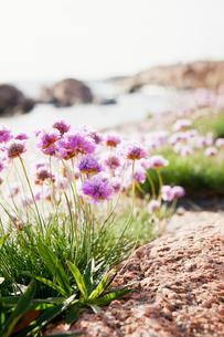 Sweden, Bohuslan, Lysekil, Pink wildflowersの写真素材 [FYI02189388]