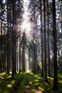 Sweden, Bohuslan, Pine forest with sunlightの写真素材 [FYI02189526]