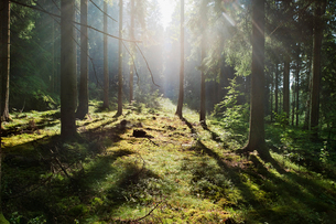 Sweden, Bohuslan, Pine forest with sunlightの写真素材 [FYI02189776]