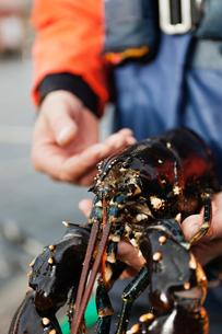 Sweden, Bohuslan, Orust, Mid adult man holding lobsterの写真素材 [FYI02189857]