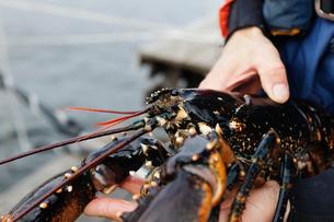 Sweden, Bohuslan, Orust, Mid adult man holding lobsterの写真素材 [FYI02189905]