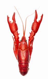 Studio shot of crayfishの写真素材 [FYI02189922]