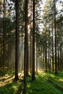 Sweden, Bohuslan, Pine forest with sunlightの写真素材 [FYI02190145]