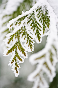 Sweden, Ostergotland, Close up of leaf covered with frostの写真素材 [FYI02190229]