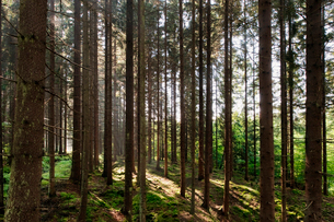 Sweden, Bohuslan, Pine forest with sunlightの写真素材 [FYI02190247]