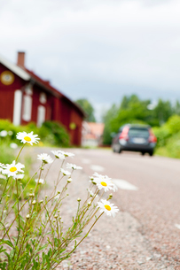Sweden, Dalarna, Flowers growing on roadsideの写真素材 [FYI02190254]