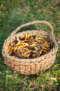 Sweden, Uppland, Herrang, Basket of chanterelle mushroomの写真素材 [FYI02190293]