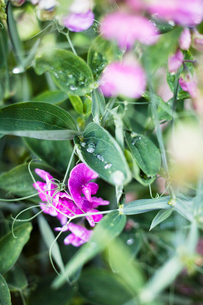 Norge, Trondheim, Close-up of wildflowersの写真素材 [FYI02190334]