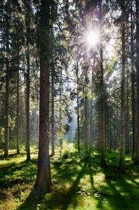 Sweden, Bohuslan, Pine forest with sunlightの写真素材 [FYI02190373]