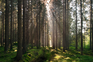 Sweden, Bohuslan, Pine forest with sunlightの写真素材 [FYI02190451]