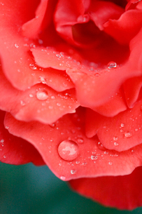 Close-up of red rose petals with water dropsの写真素材 [FYI02190550]