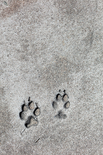 Sweden, Norrbotten, Klubbviken, Dog print in sandの写真素材 [FYI02190915]