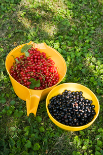 Sweden, Oland, Redcurrant and blackcurrant in bowlsの写真素材 [FYI02192427]