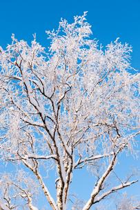 Sweden, Jamtland, Ostersund, Frost on treeの写真素材 [FYI02192625]