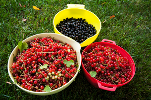 Sweden, Oland, Redcurrant and blackcurrant in bowlsの写真素材 [FYI02192804]