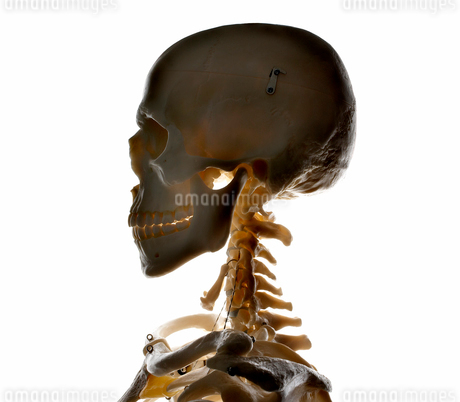 Studio shot of human skeletonの写真素材 [FYI02193018]