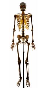 Studio shot of human skeletonの写真素材 [FYI02193075]