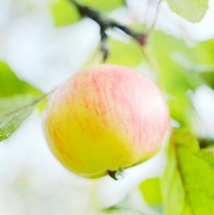 Finland, Apple treeの写真素材 [FYI02193220]
