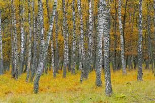 Sweden, Oland, Ottenby, Birch treesの写真素材 [FYI02193252]