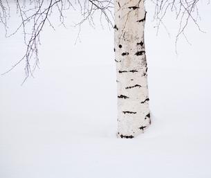Finland, Birch tree in snowの写真素材 [FYI02193264]