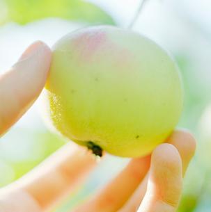 Finland, Hand picking apple fruitの写真素材 [FYI02193277]