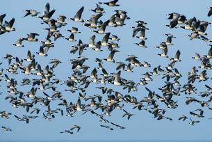 Sweden, Oland, Flock of geeseの写真素材 [FYI02193381]