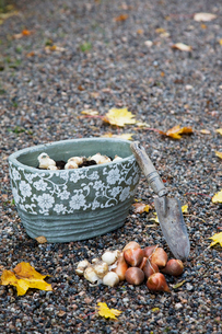 Finland, Salo, Hand trowel and range of bulbs ready for planの写真素材 [FYI02193442]