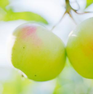 Finland, Apple treeの写真素材 [FYI02193528]