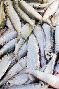 Finland, Pile of herringsの写真素材 [FYI02193562]