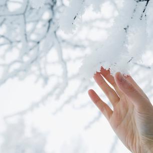 Finland, Helsingfors, Woman touching snowy twigsの写真素材 [FYI02193570]