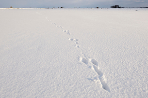 Sweden, Oland, Animal footprints in snowの写真素材 [FYI02193669]