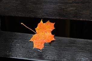 Sweden, Fallen maple leafの写真素材 [FYI02193696]