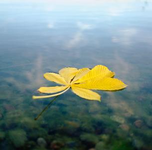 Finland, Esbo, Chestnut leaf on surface of Baltic seaの写真素材 [FYI02193728]