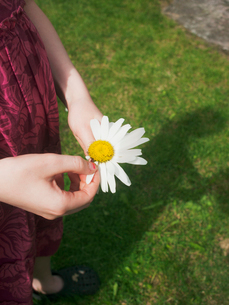 Sweden, Smaland, Girl (6-7) pulling petals from Marguerite flowerの写真素材 [FYI02193765]
