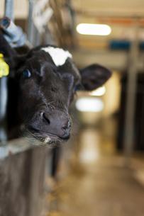 Sweden, Ostergotland, Bleckenstad, Cow in stableの写真素材 [FYI02194025]
