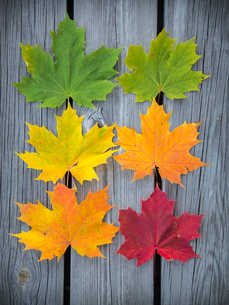 Sweden, Vastergotland, Six varicolored maple leaves arranged in rows on weathered wooden planksの写真素材 [FYI02194522]