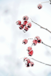Sweden, Holly covered in frostの写真素材 [FYI02195087]